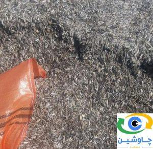 خرید تخمه آفتابگردان فله خام